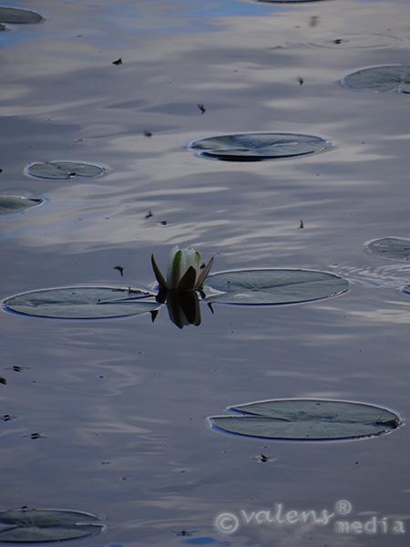 Näckros och myggor, 2012-07-17, 18:55