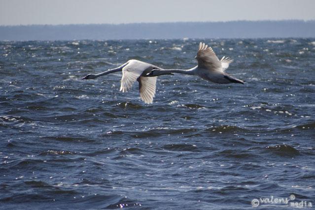 Fåglar, Kalmarsund - juli, 2012